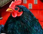 3 Kişilik Tavuk Yumurtlatma Yarışması