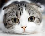 Yapboz Bulmacalar Kediler