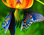 Kelebek Yapbozu