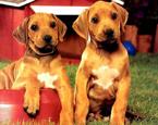 Köpek Yapbozu